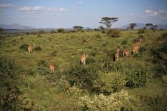Giraffe feeding on the hillside Stock Image
