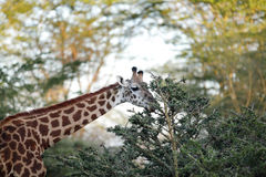 Giraffe feeding leaves Stock Images