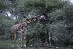 Giraffe feeding oin acacia tree Stock Images
