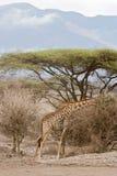Giraffe feeding Stock Images