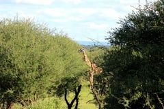 Giraffe feeding , Tanzania. A wild giraffe grazing Arusha region, Tanzania royalty free stock image