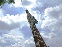 Giraffe feeding on tree. Photo of a giraffe looking up to a tree with a cloudy sky background Royalty Free Stock Images