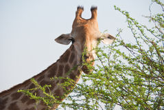 Giraffe feeding Stock Photography