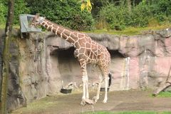 Giraffe feeding at the zoo from box. Giraffe feeding from a high box at the zoo with antelope in front Stock Photos