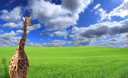 Giraffe in field Royalty Free Stock Images