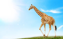 Giraffe. In the field against the blue sky Royalty Free Stock Images