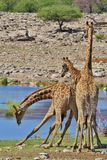 Giraffe Fight - African Wildlife - Swinging Necks. Giraffe bulls fight it out over territorial dominance. Photographed in the wilds of Namibia, southwestern royalty free stock image