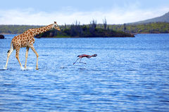Giraffe and flamingo Stock Photography