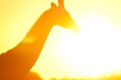 Giraffe in flare Stock Images