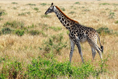 Giraffe foal Royalty Free Stock Photos
