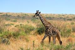 Giraffe foal Stock Images