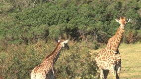 Giraffe and foal grazing from the treetops on the savanna stock video footage