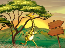 A giraffe following the wooden arrow guide Royalty Free Stock Image