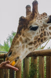 Giraffe in the foreground. Foreground giraffe eating hand, vertical photo Royalty Free Stock Photo