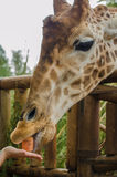Giraffe in the foreground. Foreground giraffe eating hand, vertical photo Royalty Free Stock Images