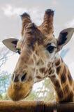Giraffe in the foreground. Giraffe Head foreground, vertical photo Stock Photo