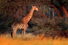 Giraffe in forest with big trees, evening light, sunset. Idyllic giraffe silhouette with evening orange sunset, Botswana, Africa. stock image