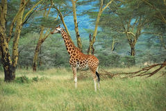 Giraffe in the forest, Kenya Stock Photography