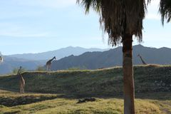 Giraffe in Forest Mountain Background stockfotografie