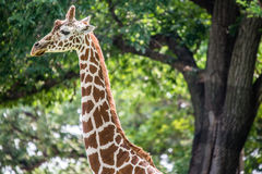 Giraffe in forest Stock Images