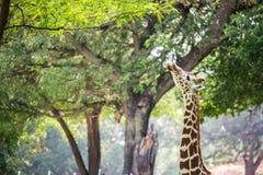 Giraffe in forest Stock Photos