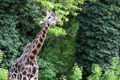 Giraffe in forest wildlife Stock Images