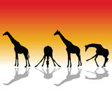 Giraffe four vector color silhouette Stock Images