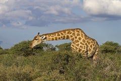 Giraffe frôlant dans les buissons denses Images stock