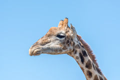 Giraffe in the Franklin Nature Reserve Royalty Free Stock Photography