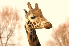 Giraffe-Frau Lizenzfreie Stockbilder