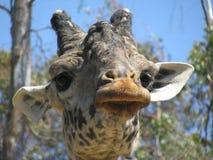 Giraffe front. Head of Giraffe en frontal position Stock Photo