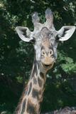 Giraffe front Stock Photos