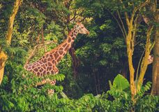 Giraffe in front of green trees Royalty Free Stock Image