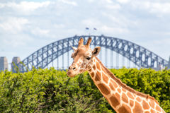 Giraffe in front of the Sydney Harbor Bridge. Beautiful Giraffe at Taronga Zoo in front of the iconic Sydney harbor bridge Stock Photo