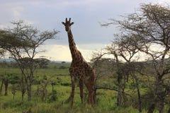Giraffe. Full body shot of an adult Giraffe Royalty Free Stock Images