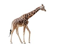 Giraffe in the full growth. Isolated on white Stock Photography