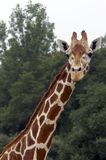 Giraffe and full neck photo. Giraffe looking at photographer.  Head and neck shot Stock Photography