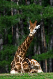 Giraffe with funny expression Stock Photos