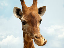 Giraffe with a funny expression. Against a blue sky Royalty Free Stock Images