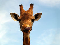 Giraffe with a funny expression Stock Images