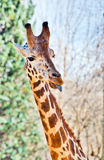 Giraffe with a funny face Royalty Free Stock Photo