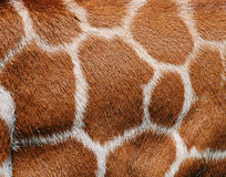 Giraffe Fur Texture. Detailed close up of a giraffe's hide. A natural tan and white background Royalty Free Stock Photos