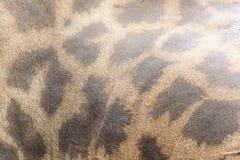 Giraffe fur texture Royalty Free Stock Photos