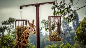 Giraffe in captivity. The giraffe is a genus of African even-toed ungulate mammals, the tallest living terrestrial animals and the largest ruminants. The genus royalty free stock image