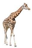 Giraffe getrennt auf weißem Hintergrund Stockbilder