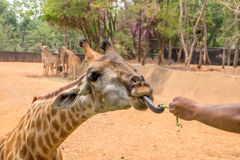 Giraffe gets food from people Stock Photo