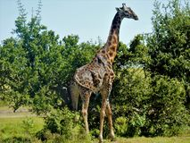 Giraffe. A Giraffe getting ready to munch on some leaves for lunch Royalty Free Stock Image