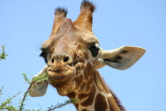 Giraffe, giraf Stock Photography