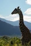 Giraffe - Giraffa, Κένυα, Αφρική Στοκ Εικόνες