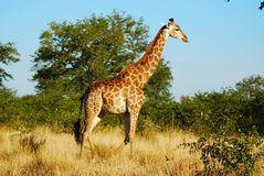 Giraffe (Giraffa camelopardalis). In the bush-veld (South Africa stock photos